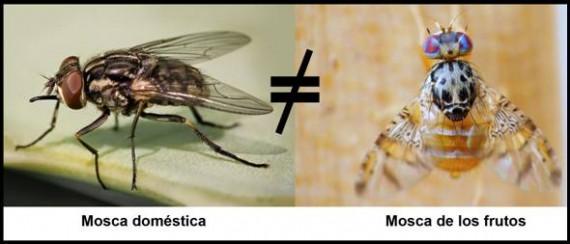 mosca de los frutos
