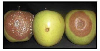 hongos manzana